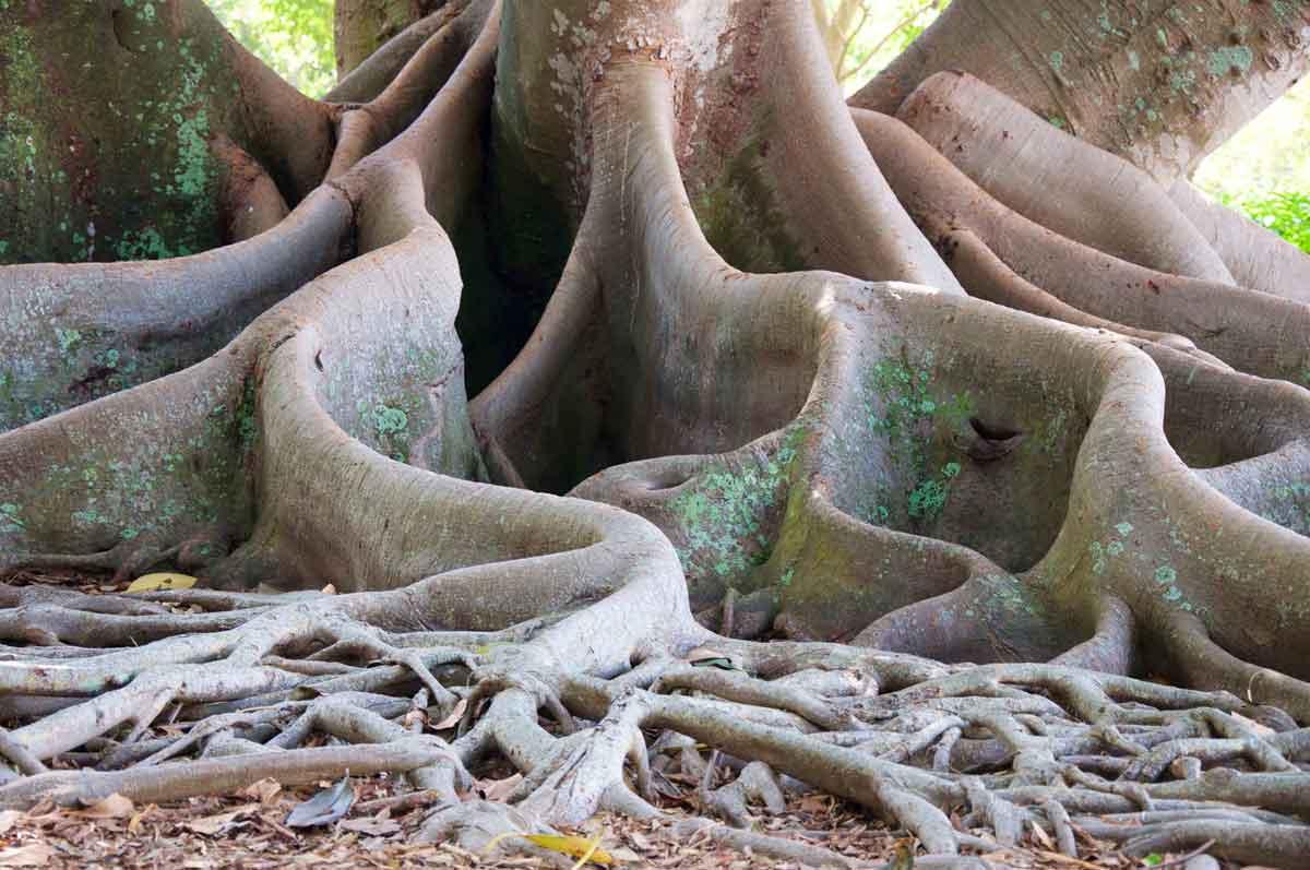 Das oberirdische Wurzelwerk eines sehr alten und dicken Baumes, mit sehr vielen Verästelungen und Verzweigungen. Er steht hier symbolisch für mein Netzwerk.